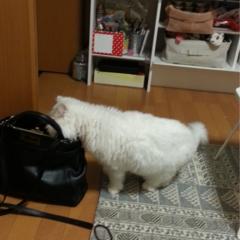 【今日のにゃんこ】食いしん坊トラちゃんの日課は「ママの荷物チェック」!
