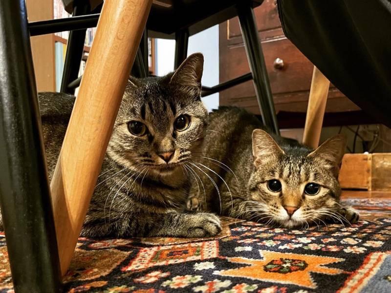 椅子の下に2匹仲良く座っている雑種猫・がんくんとサンちゃん