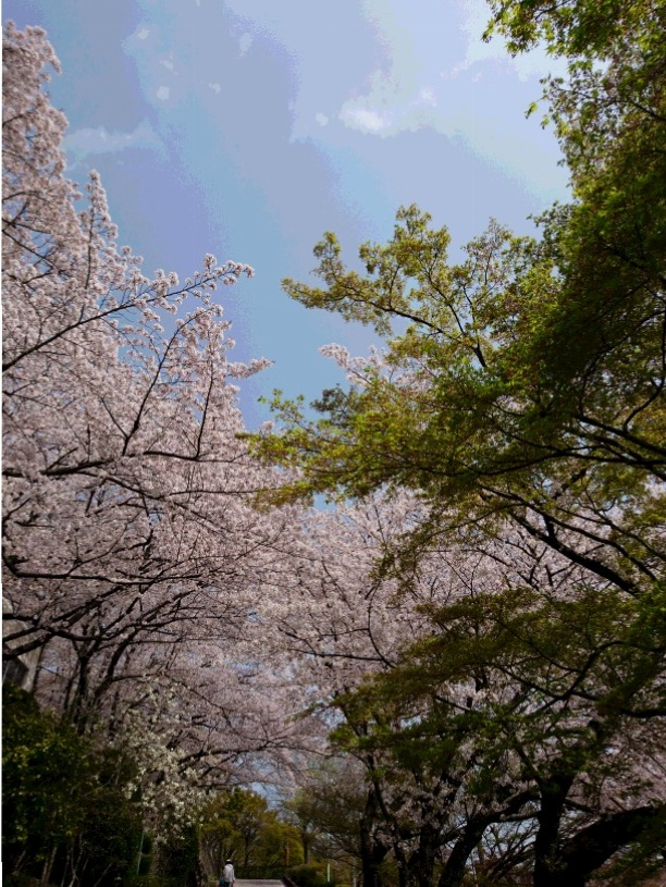 ご当地・穴場お花見スポット<大阪・池田>_2