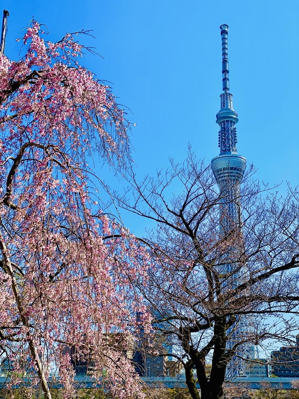 【隅田公園】お花見絶景スポット発見!《桜×東京スカイツリー》のコラボが映え度抜群♡_5