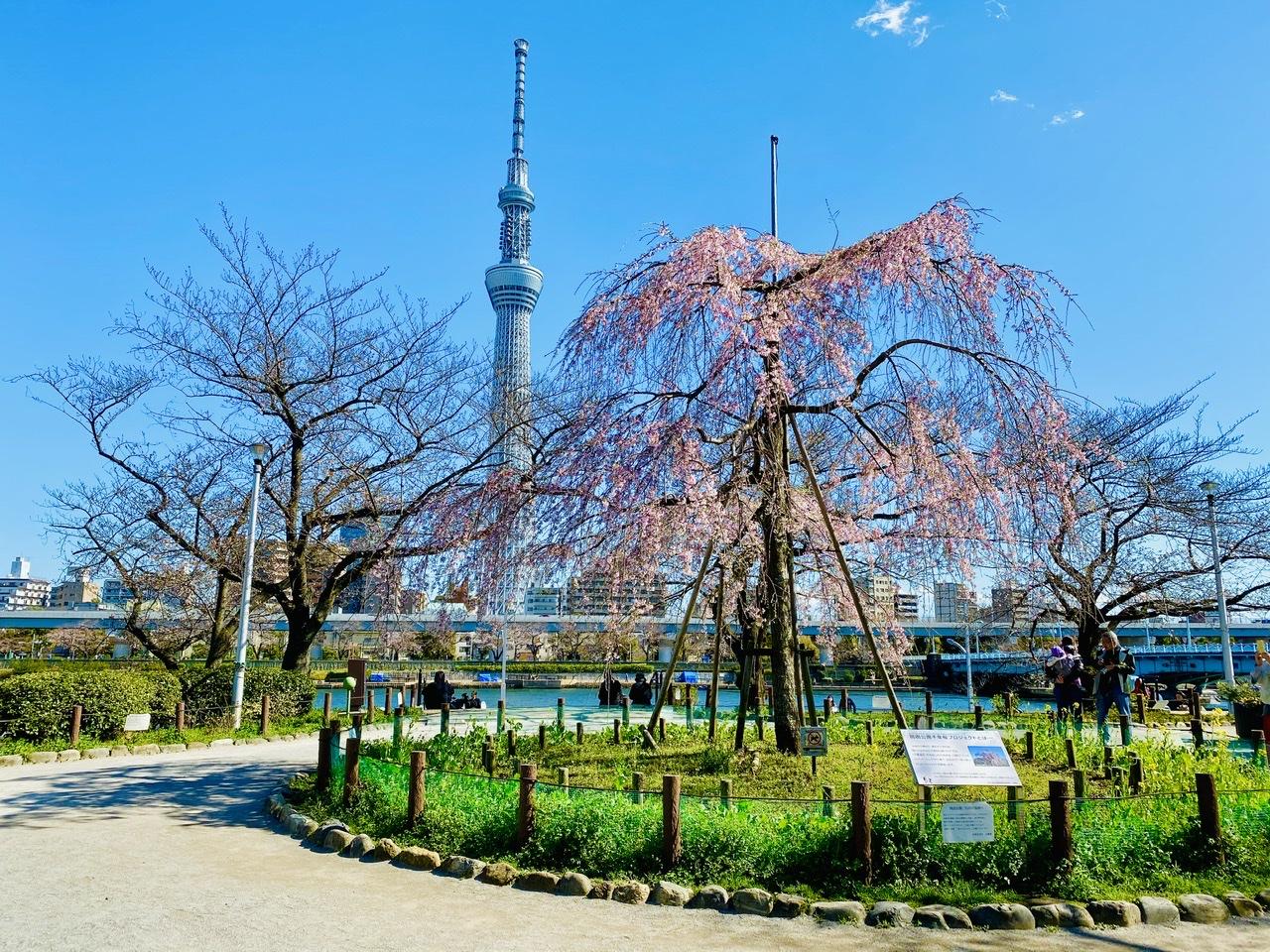 【隅田公園】お花見絶景スポット発見!《桜×東京スカイツリー》のコラボが映え度抜群♡_1