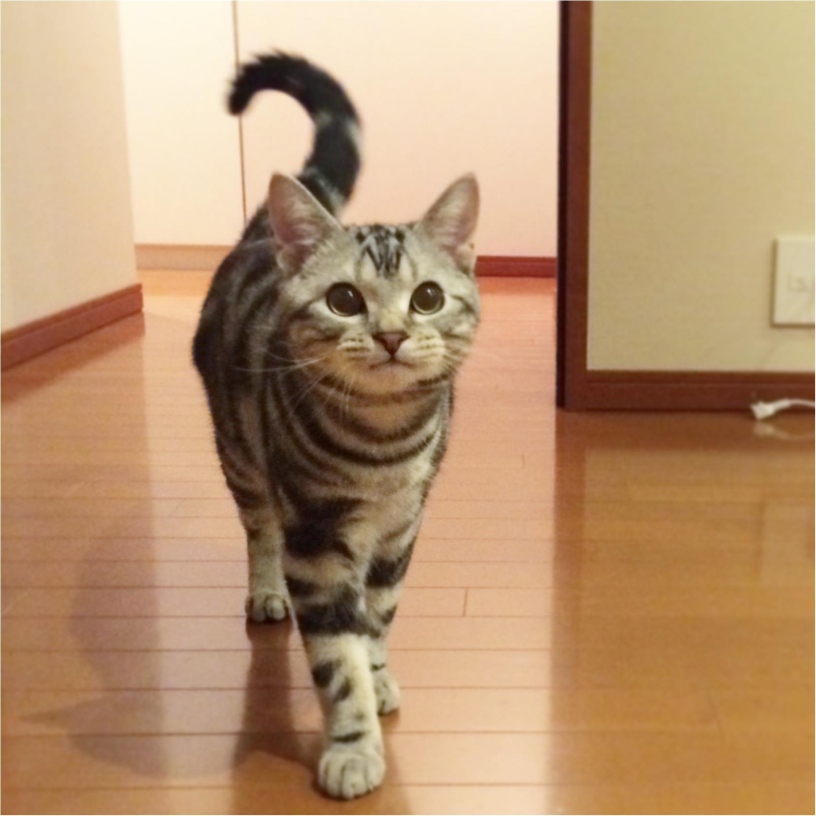 【今日のにゃんこ】尻尾がピンッ❤ 嬉しさが隠せないアランくんの巻_1