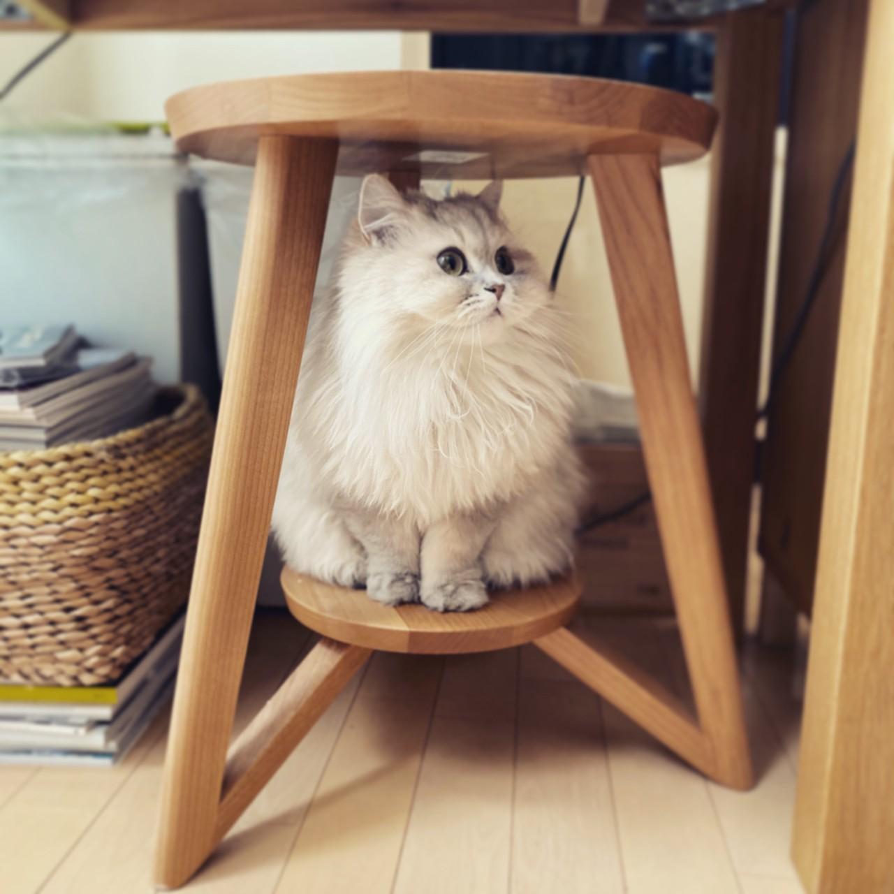 椅子の下で置物のように座る猫・ココンちゃん