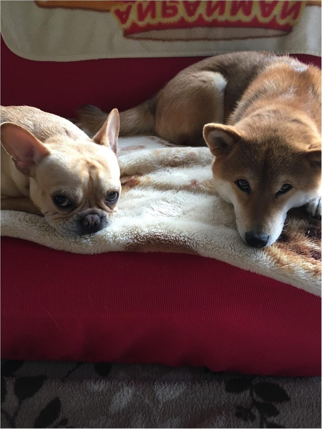【今日のわんこ】まつこは先輩犬チロと一緒に、上目遣いでおねだり♡_1
