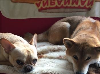 【今日のわんこ】まつこは先輩犬チロと一緒に、上目遣いでおねだり♡