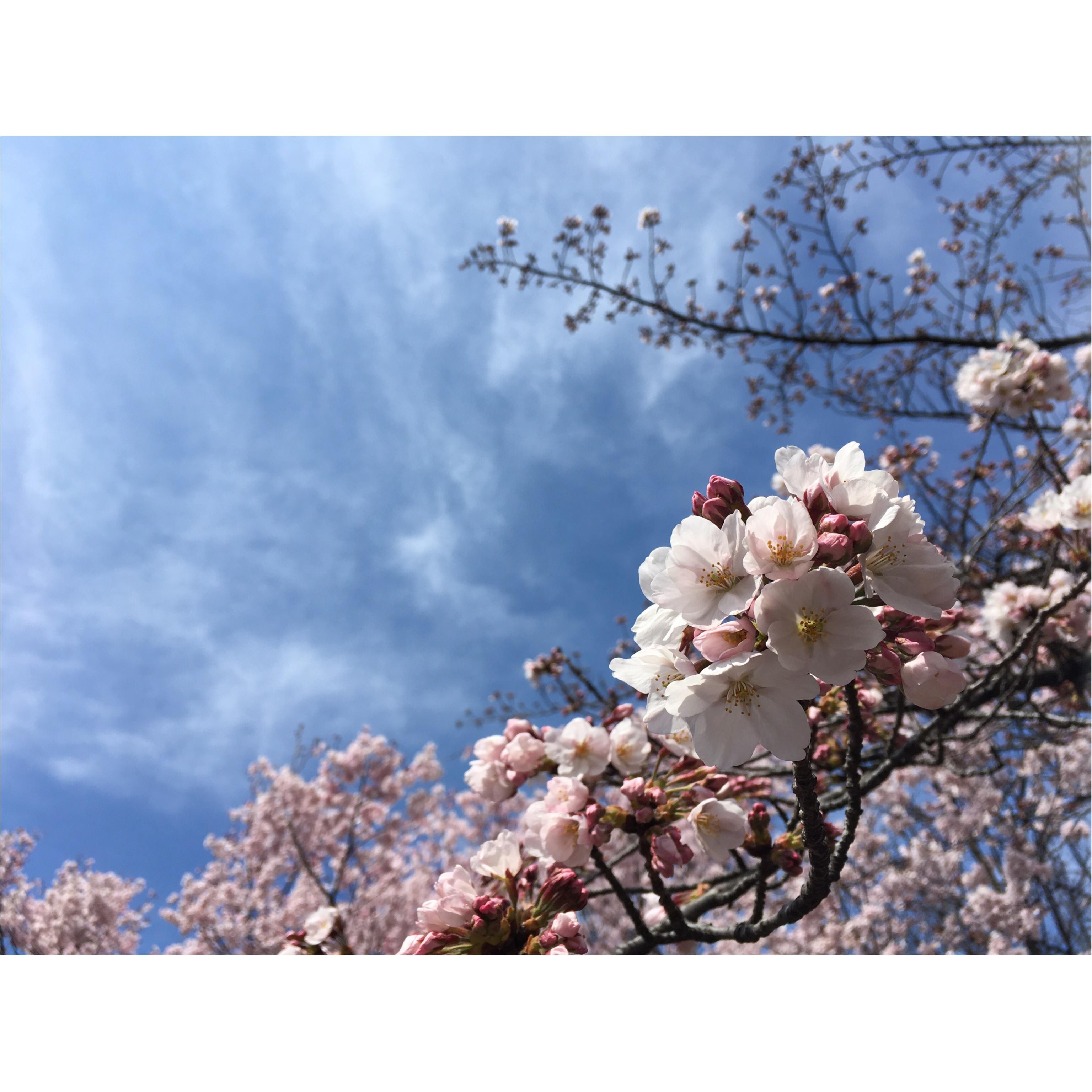 新宿御苑のお花見がゆっくりできるわけ★_1