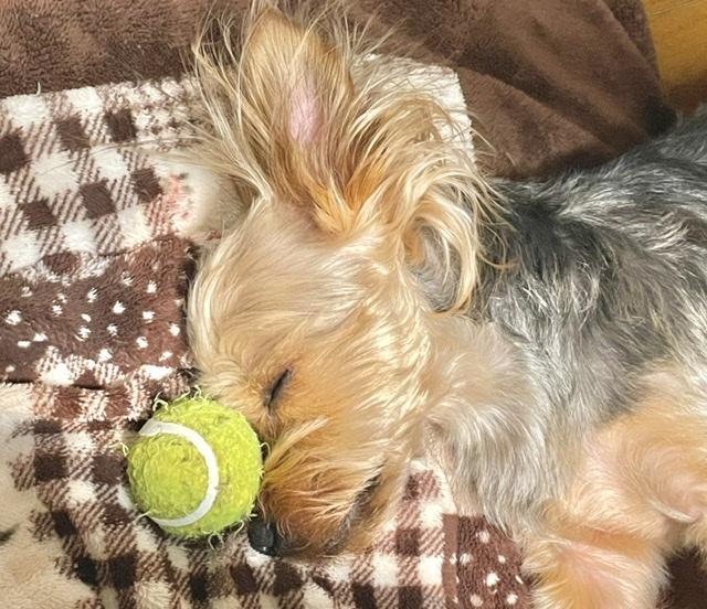 【我が家のペット】ボールだいすき!やんちゃなヨーキーのオパールくん♡_2