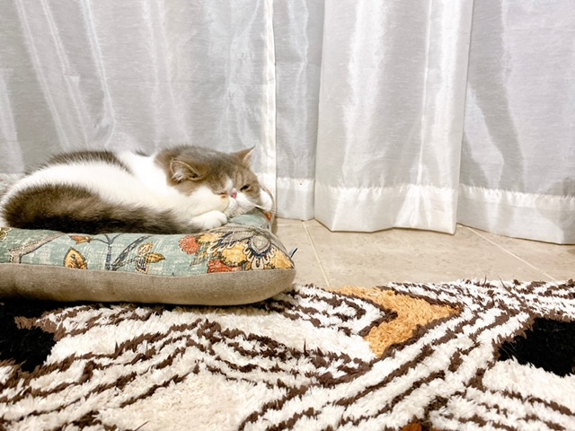 クッションの上でくつろぐ猫・こたつくん
