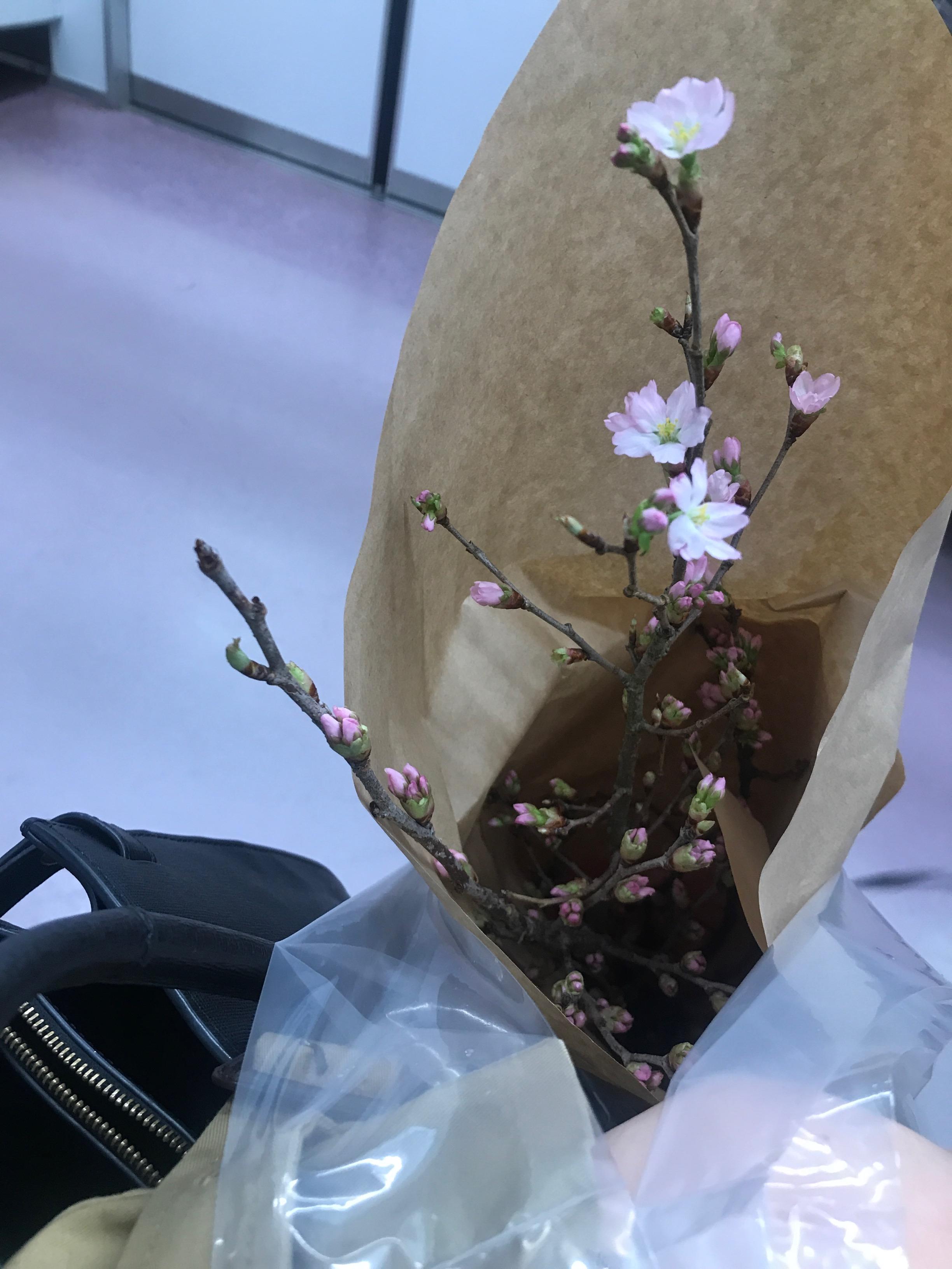 【おうちでお花見♡】AOYAMA FLOWER MARKETの桜が咲きました♩_8