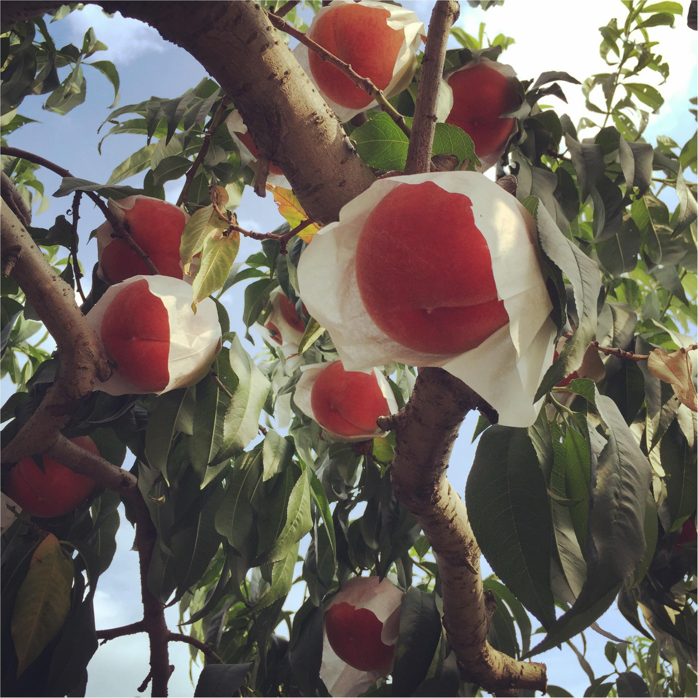 絶景を眺めながら桃食べ放題♡♡《*山梨*》に桃狩り日帰り旅行に行ってきました♪♪_3
