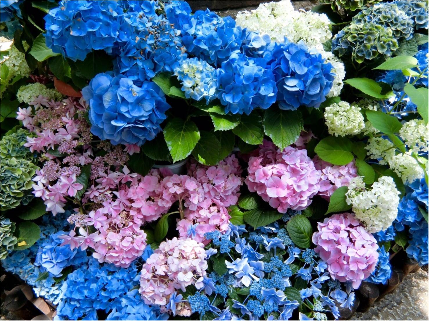 【今が見頃!】6月のおでかけは紫陽花まつりがおすすめ*写真映えするコーデのポイントも♡_5