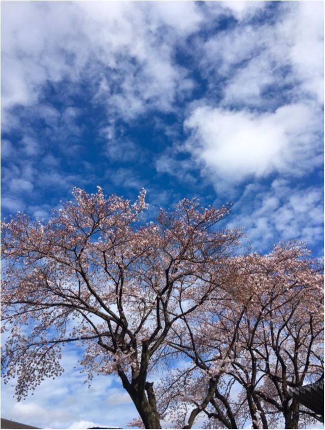 【桜通信】週末で散っちゃう!?最近の桜事情_4