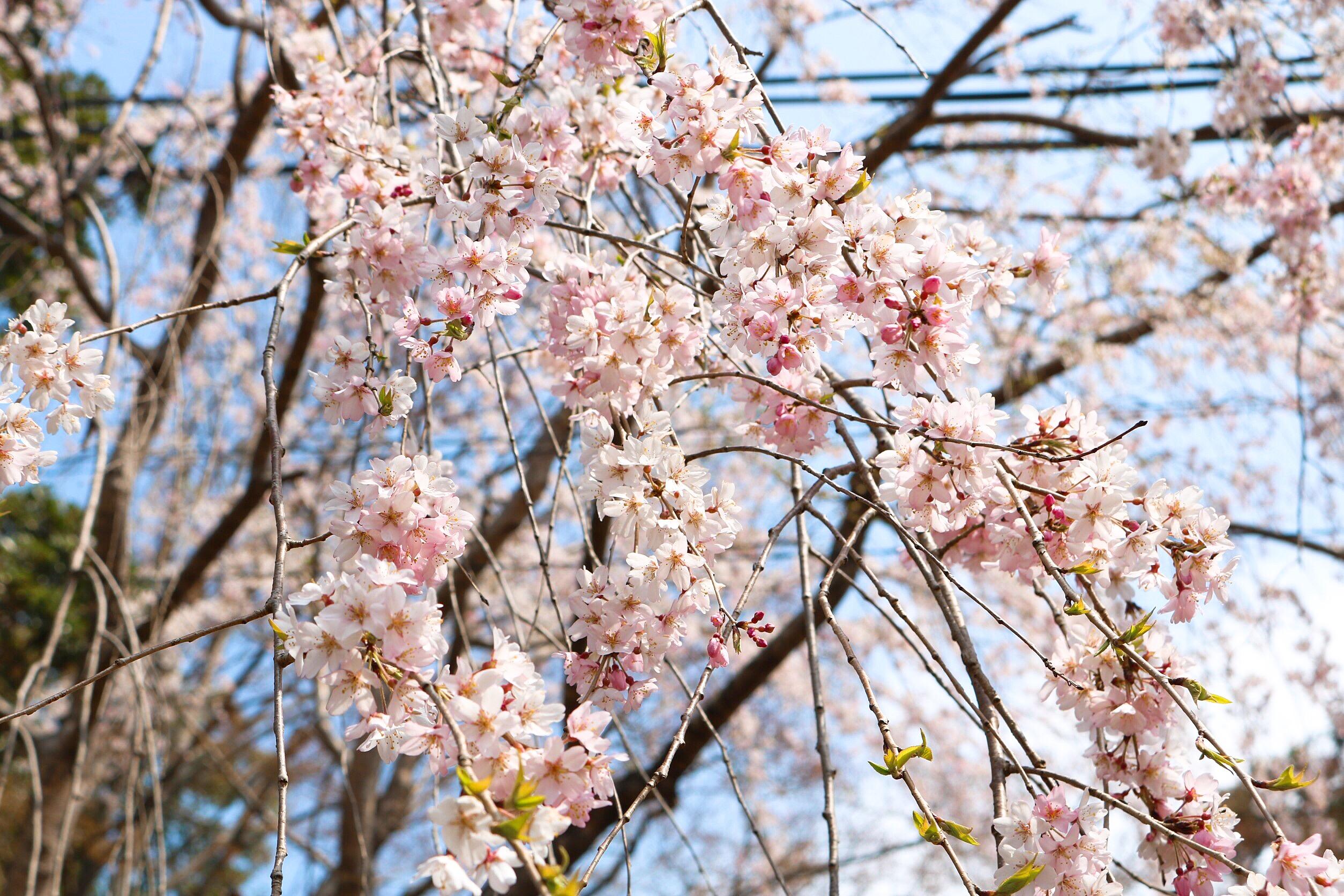 平成最後の桜です_2