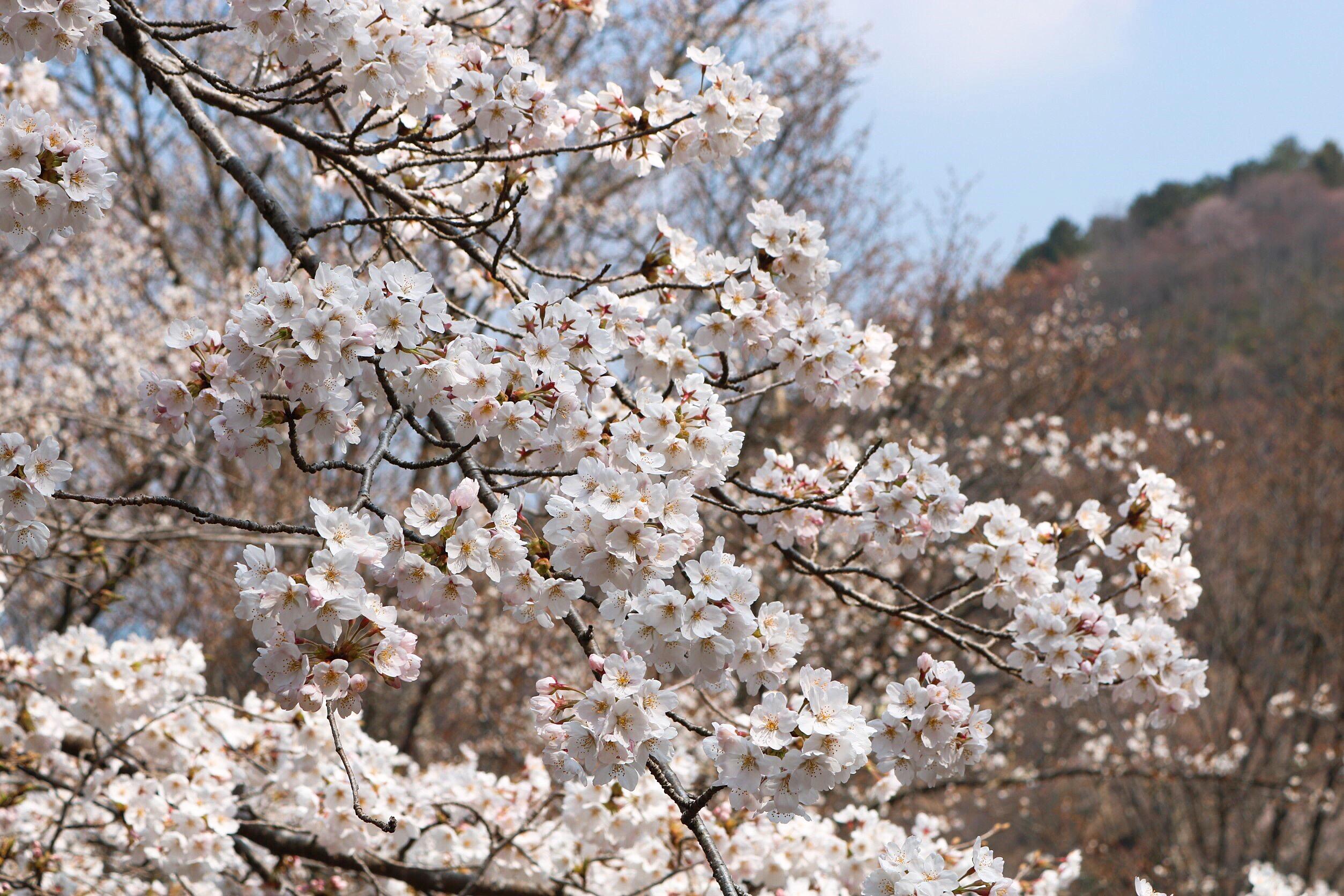 平成最後の桜です_3