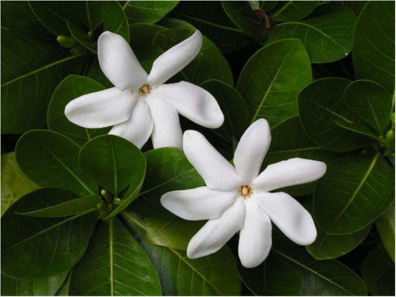 あこがれの島「タヒチ」に残る「幸せを呼ぶ花の伝説」、知ってる!?_2