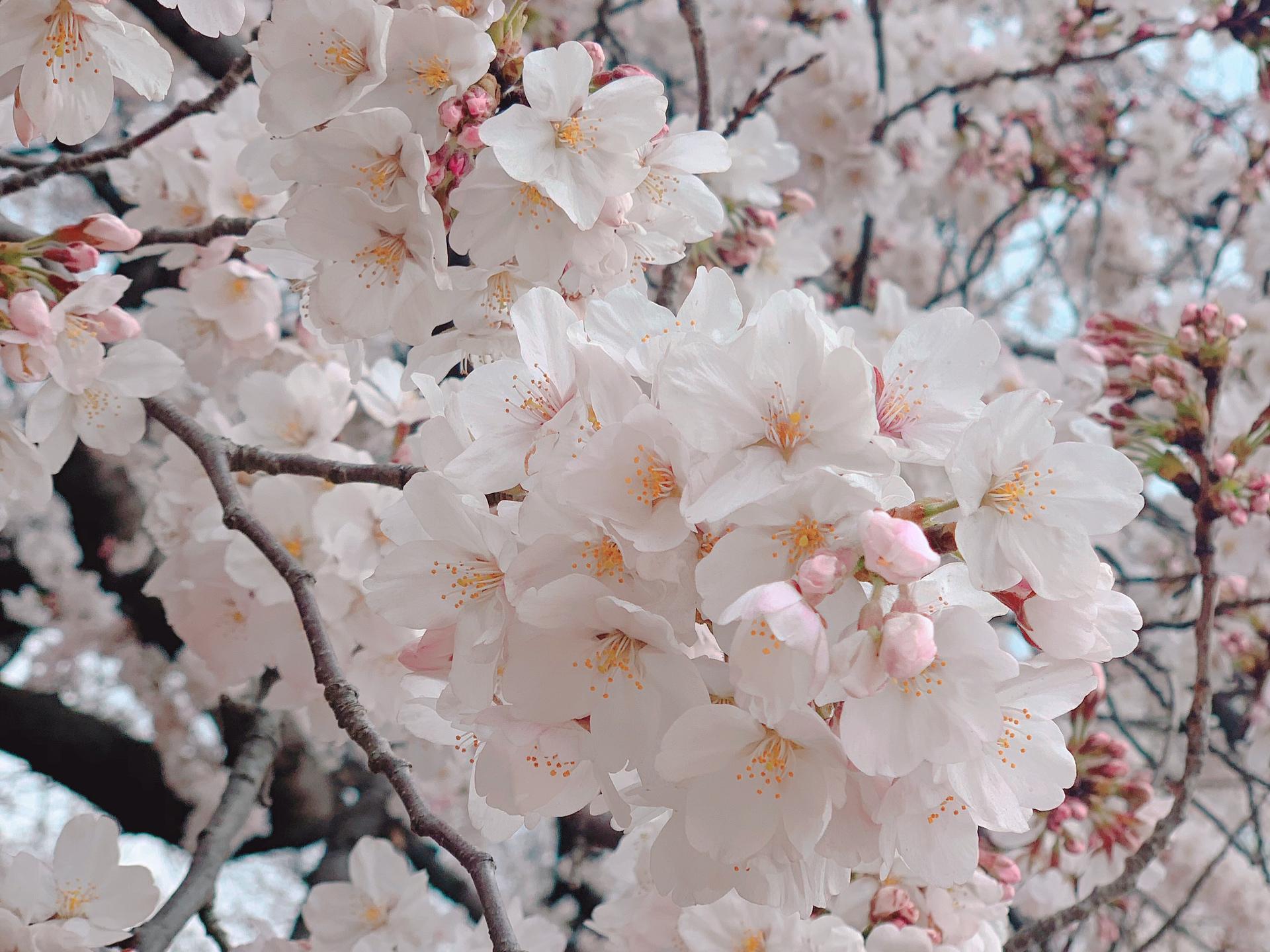 ▷桜の季節【お手軽お花見どこでする??】_1
