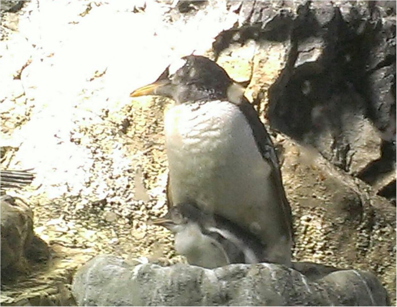 とっても可愛い!【海遊館】でペンギンの赤ちゃんが生まれましたよ!!(443 まゆ_3