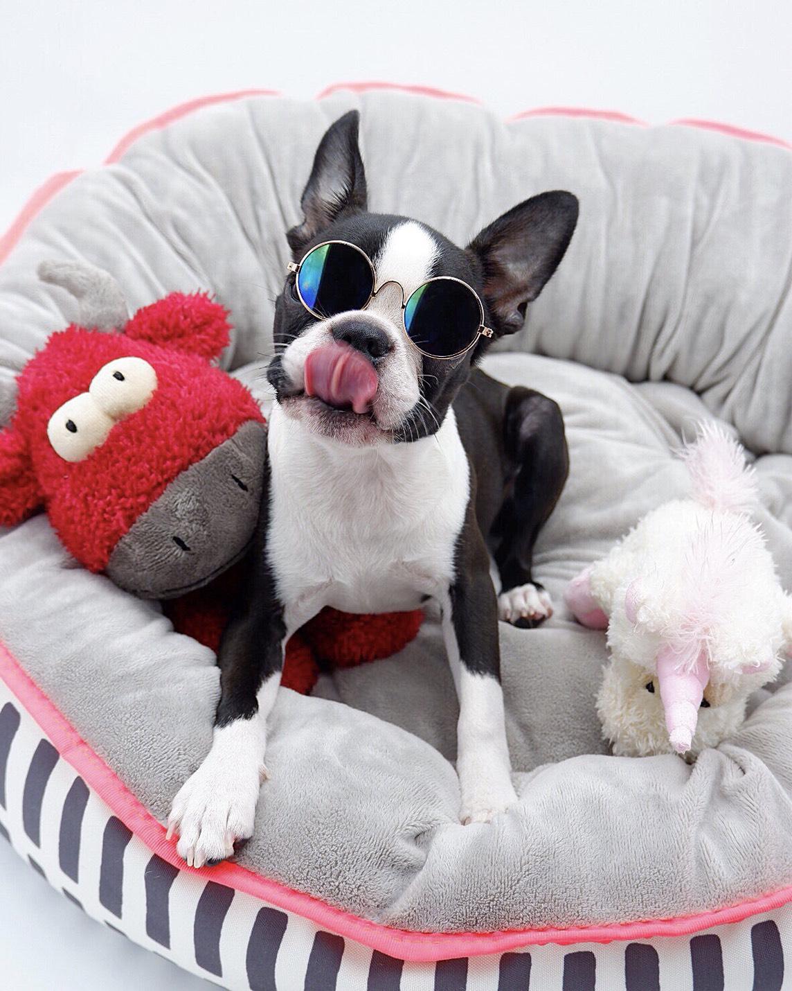 自宅のフォトスタジオにて、サングラスをかけられ撮影される犬・ボストンテリアのへちまちゃん