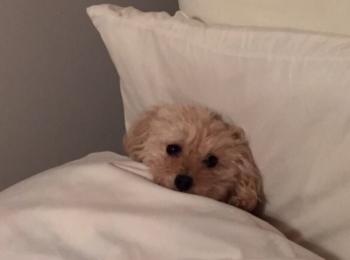 【今日のわんこ】ベッドに待機するシフォンちゃんがキュートすぎる