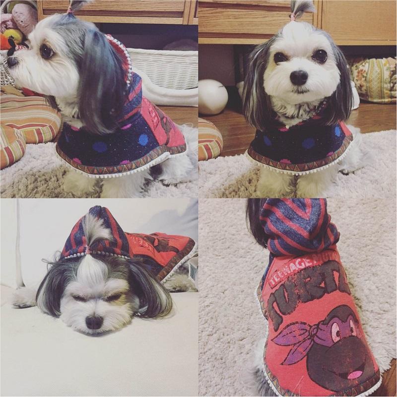 【今月のわんこ】チワワとマルチーズのミックス犬・太郎くんのコスプレ5選! ハロウィンの参考にしてみて♬_3