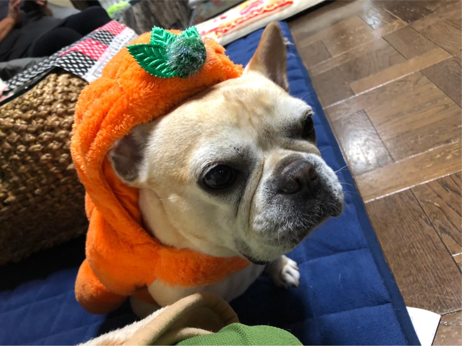 かぼちゃの被り物をかぶっている犬・まつこ
