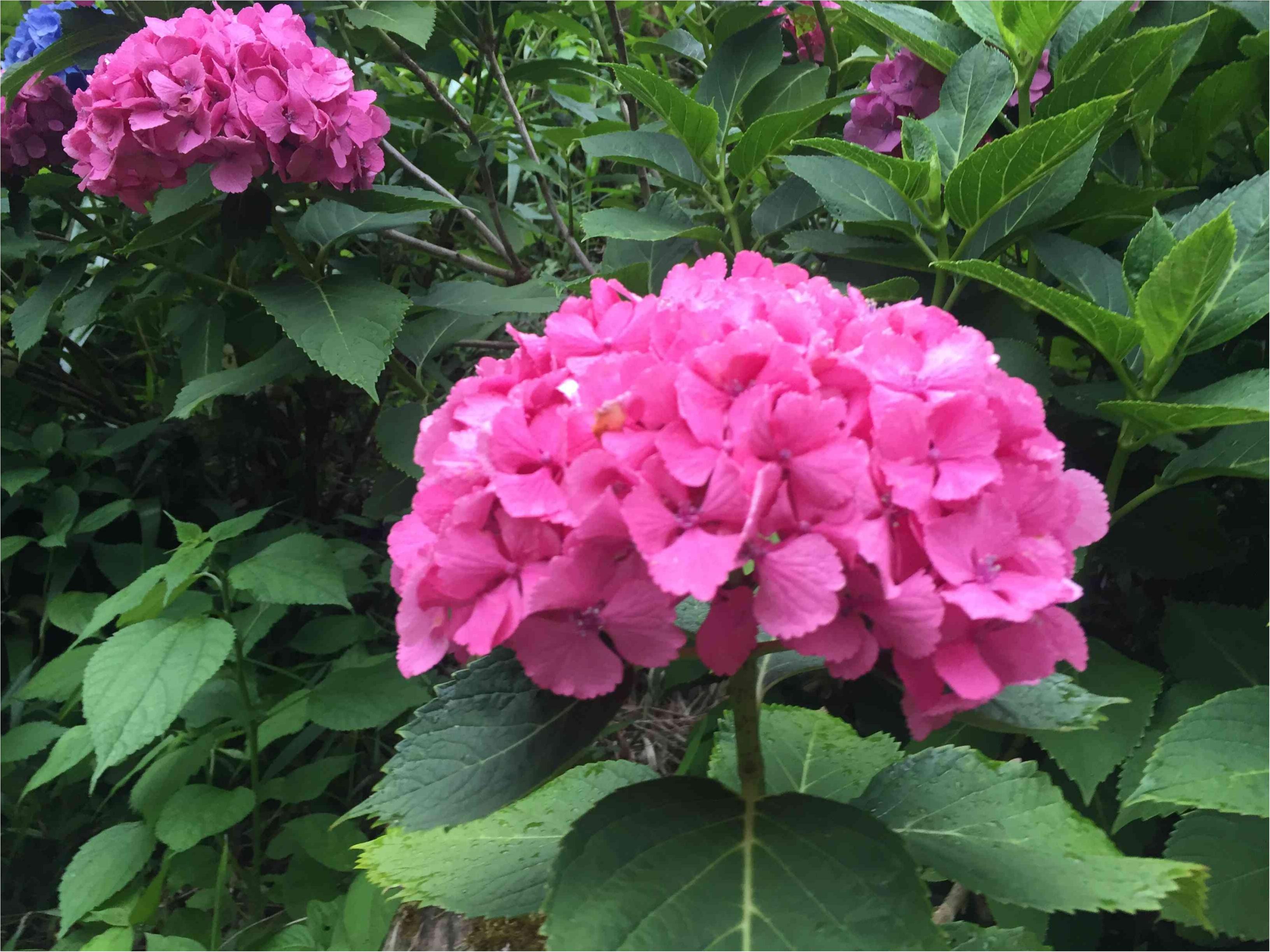 鎌倉で紫陽花探し_2