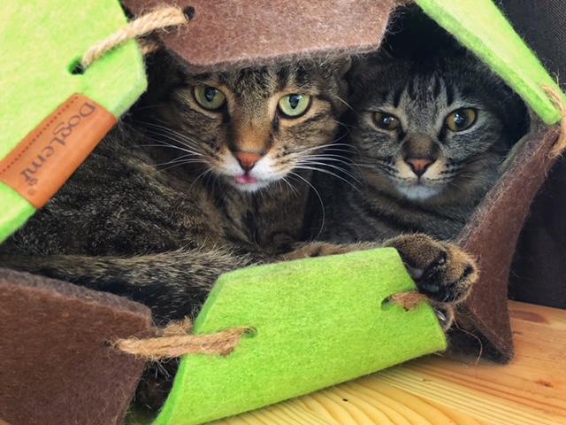 1匹用のドームベットに2匹で入っている猫・サンちゃんとがんくん