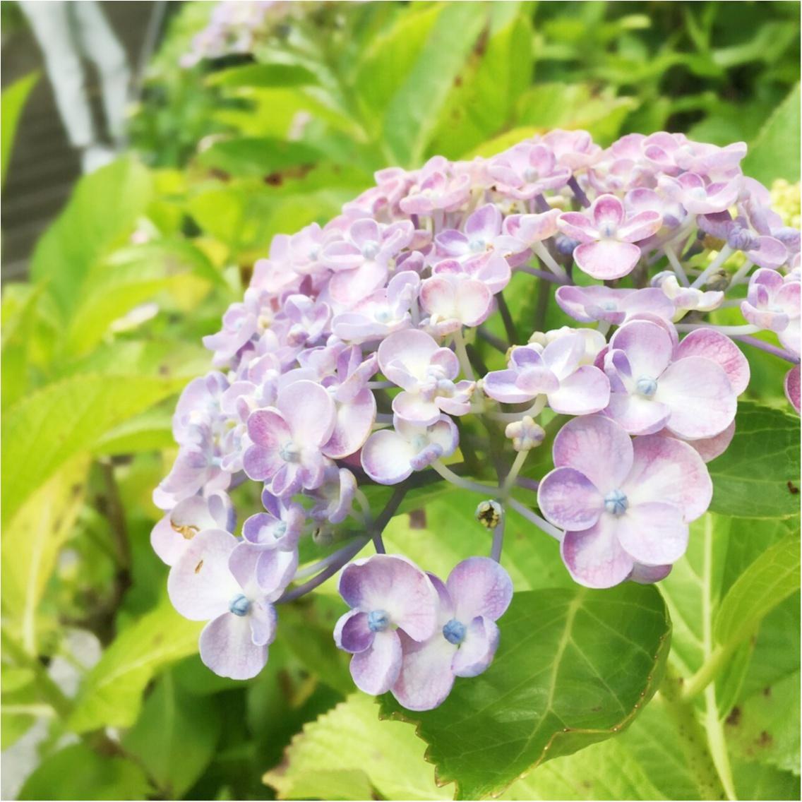 あじさいの咲く鎌倉へ。散策途中で買って満足した物とは,,,_2
