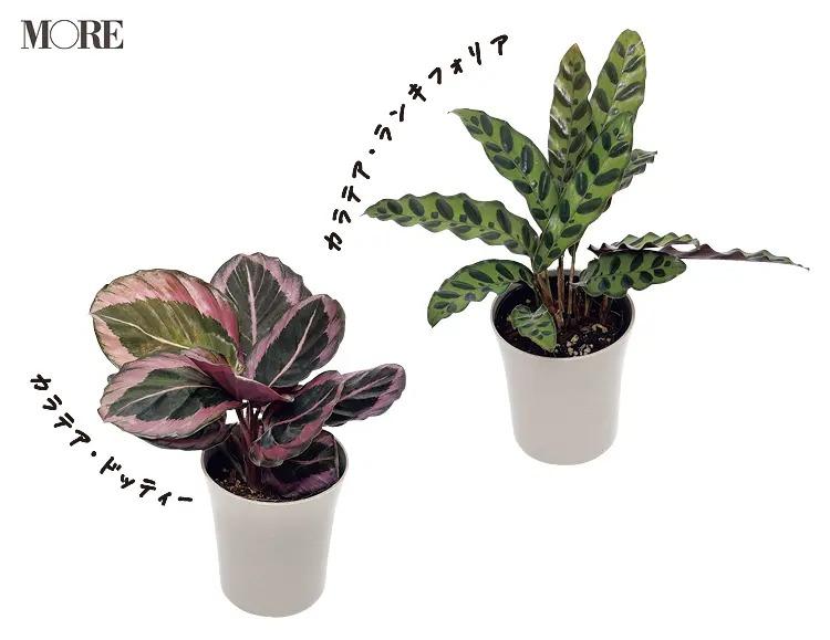初心者におすすめの植物カラテア