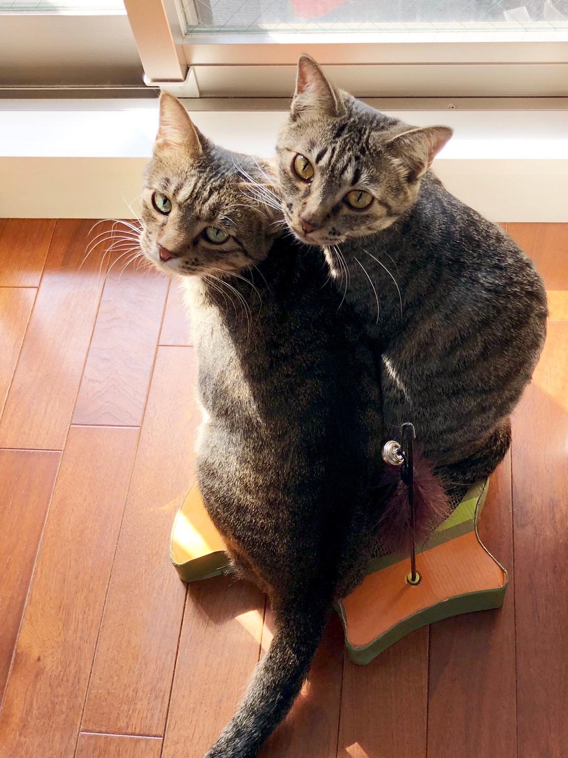 爪研ぎの上にのる2匹の雑種猫・がんくんとサンちゃん