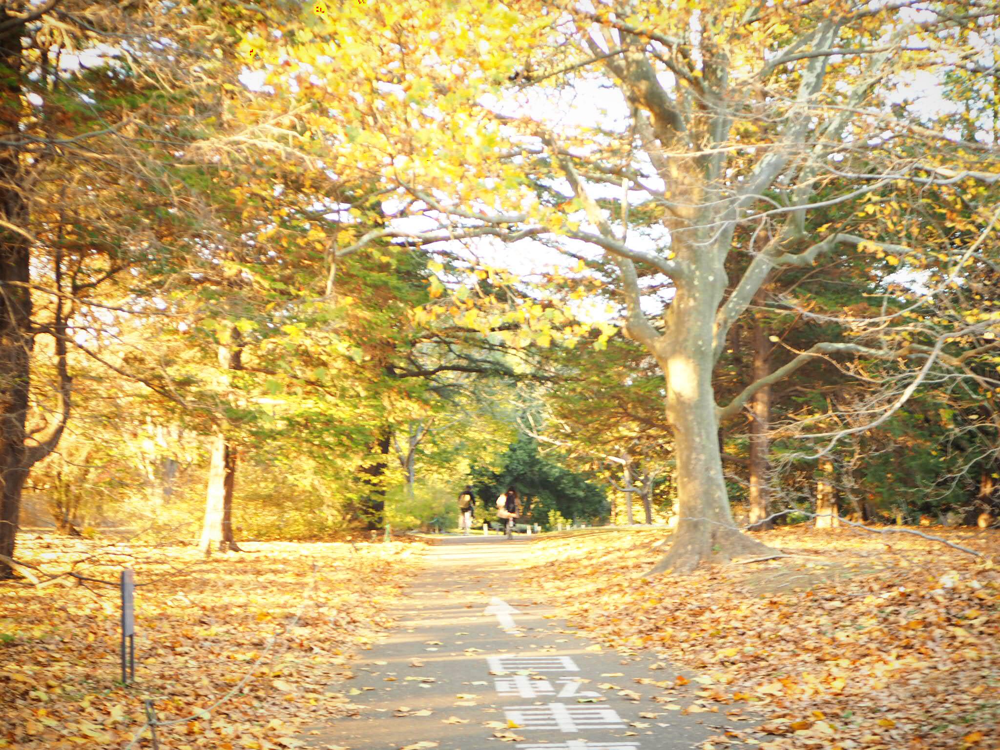 【秋の昭和記念公園】銀杏並木と紅葉サイクリング♩_4