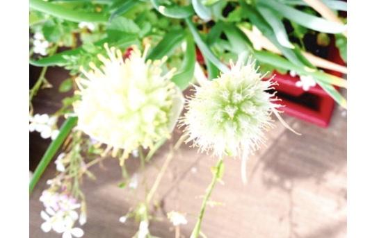 【ぶり農園】初めてのベランダ菜園でも育てやすい食料・お花はどれだ?_2