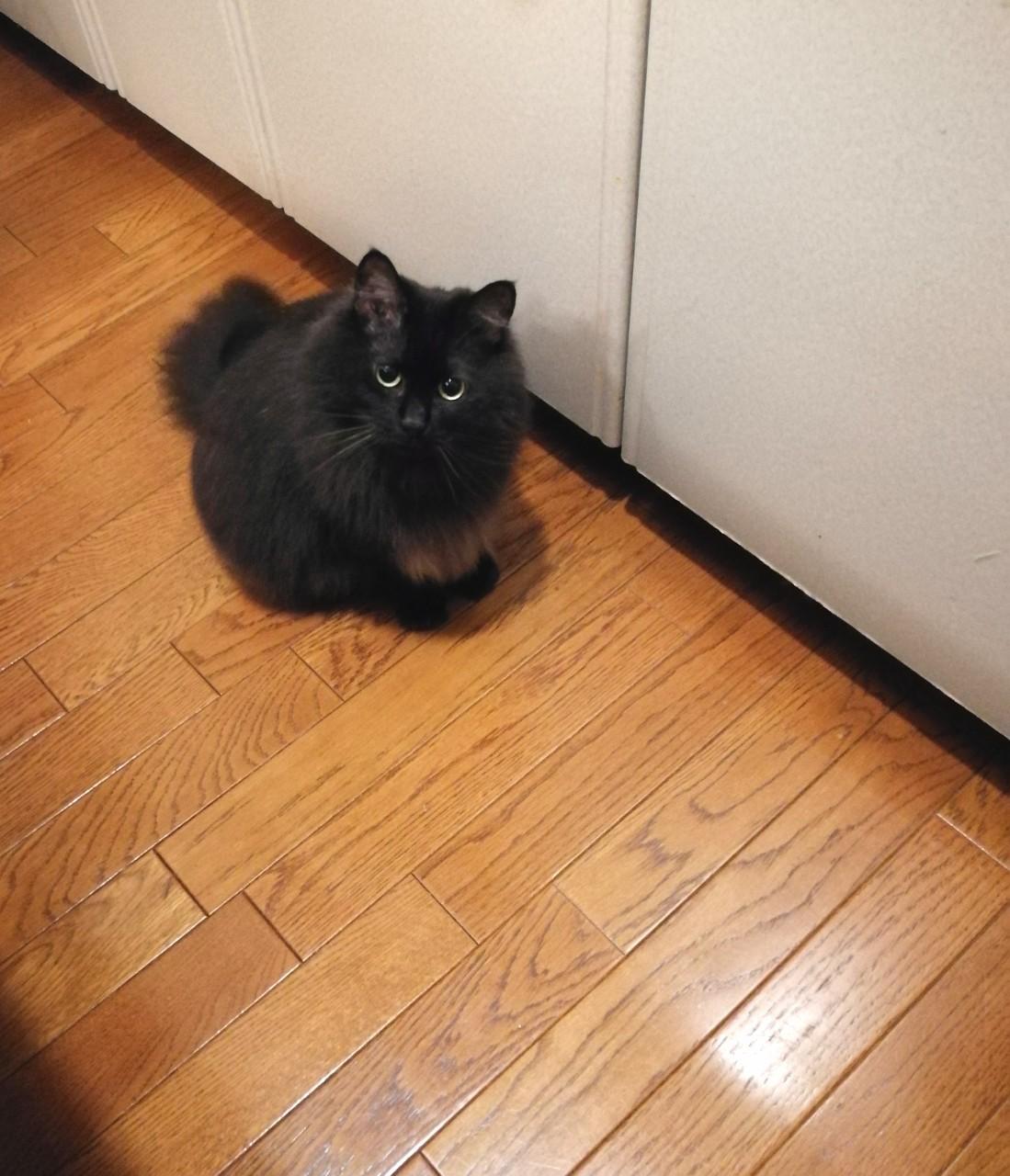 お腹がすいて、ご飯の棚の前で待つ猫・ゆらちゃん
