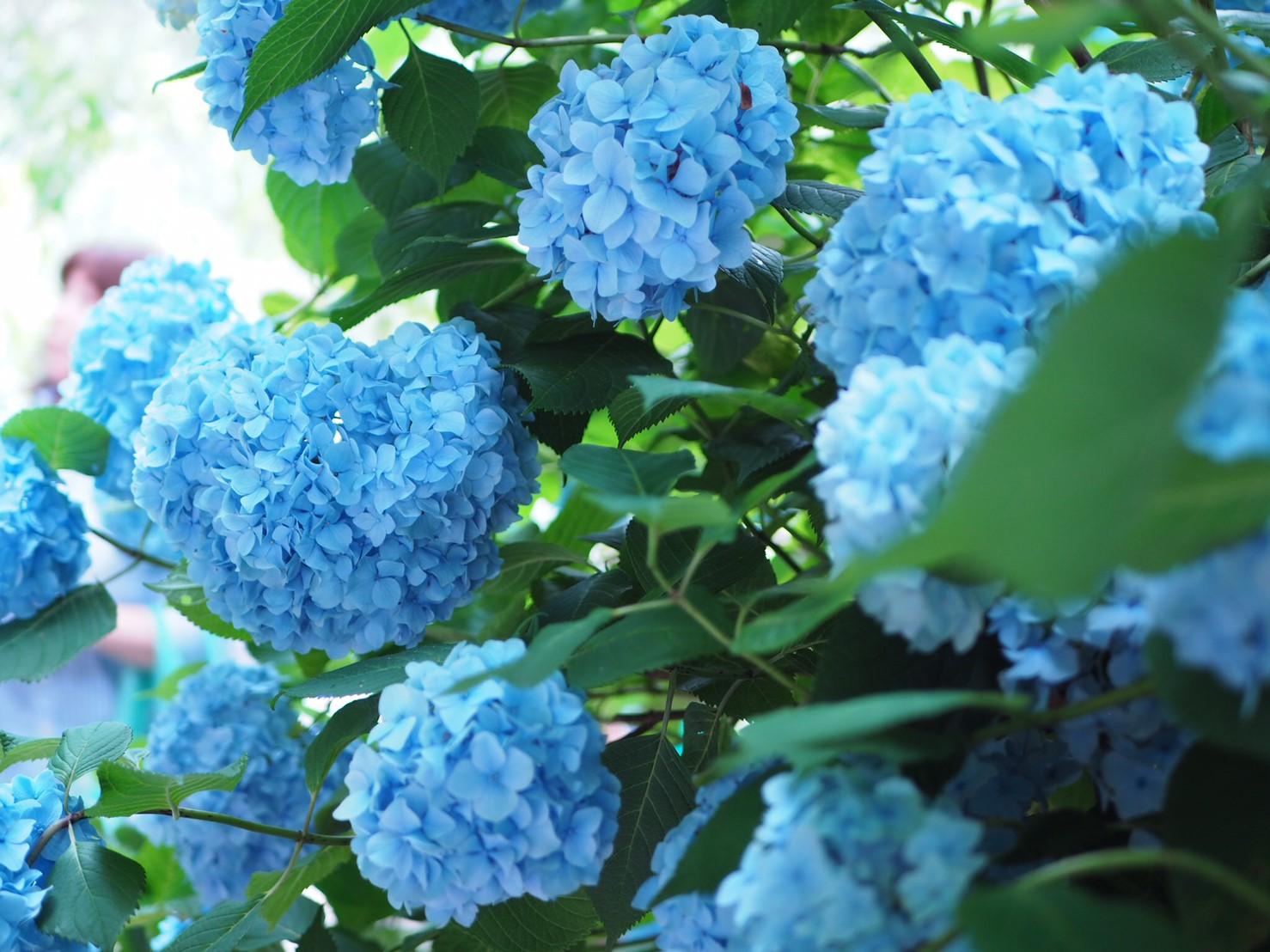 【6月鎌倉旅】#明月院ブルー あじさいの旅♩ _2