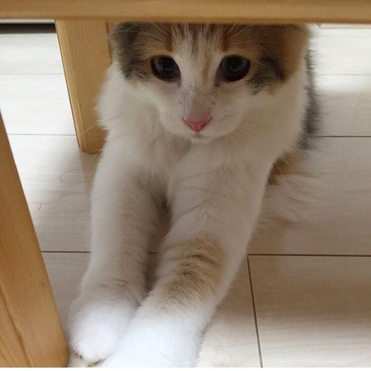 【今日のにゃんこ】机の下で、何かを見つめる万里ちゃん_1