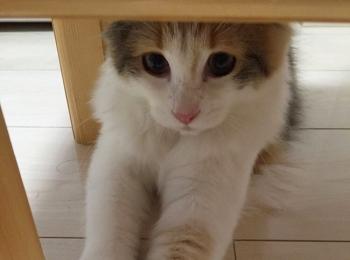 【今日のにゃんこ】机の下で、何かを見つめる万里ちゃん