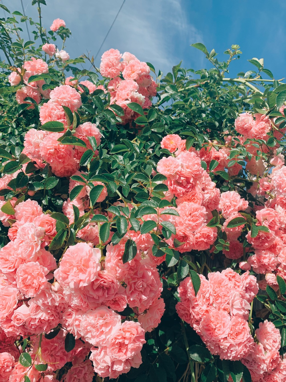 【VSCO】可愛い薔薇を見つけました♡_1