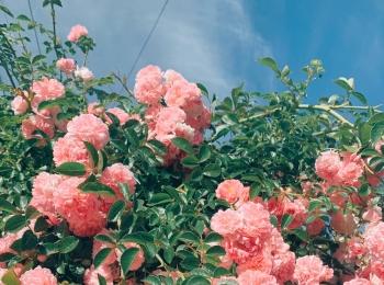 【VSCO】可愛い薔薇を見つけました♡