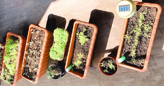 【ぶり農園】初めてのベランダ菜園でも育てやすい食料・お花はどれだ?_1