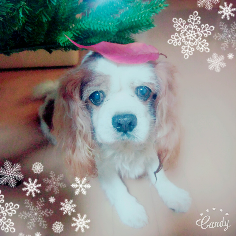 【今日のわんこ】ハッピーウィンター♡ ナッツくんはもうクリスマス準備中_1