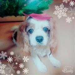 【今日のわんこ】ハッピーウィンター♡ ナッツくんはもうクリスマス準備中