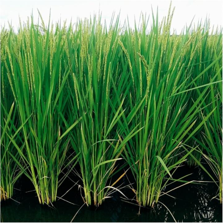 稲の穂が出ました!!花が咲いてます♡<稲の成長記録!>【#モアチャレ 農業女子】_2_1