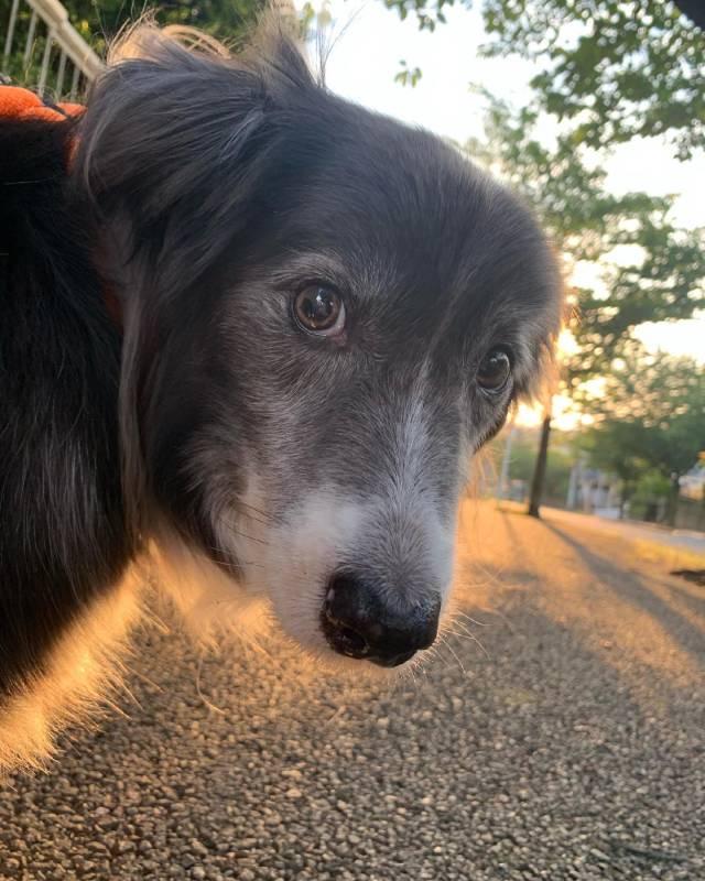 夕方にお散歩中の犬・メルちゃん