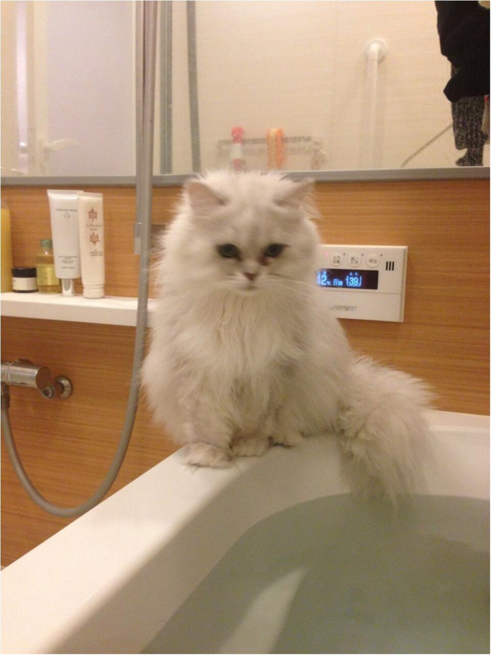 【今日のにゃんこ】お湯加減はいかが? チロルちゃんはお風呂番長!_1
