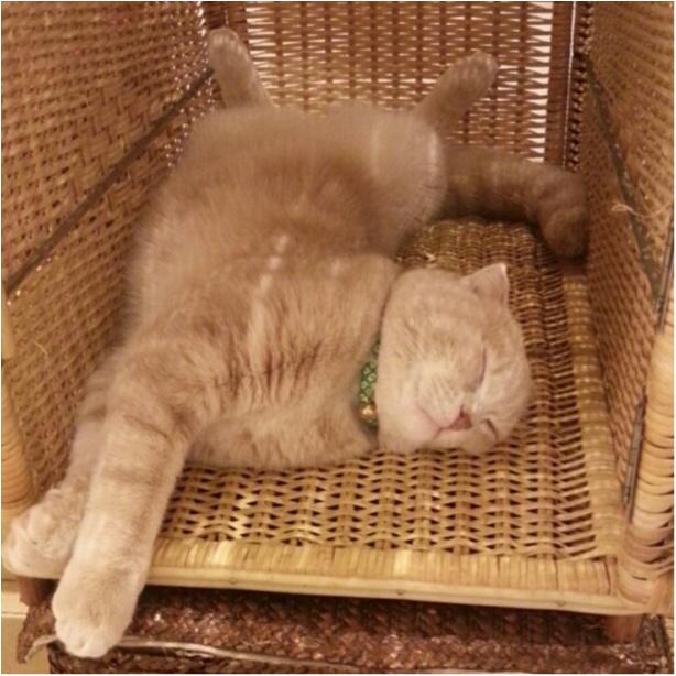 【今日のにゃんこ】試してみる? ニコくんのストレッチ寝講座♡_1