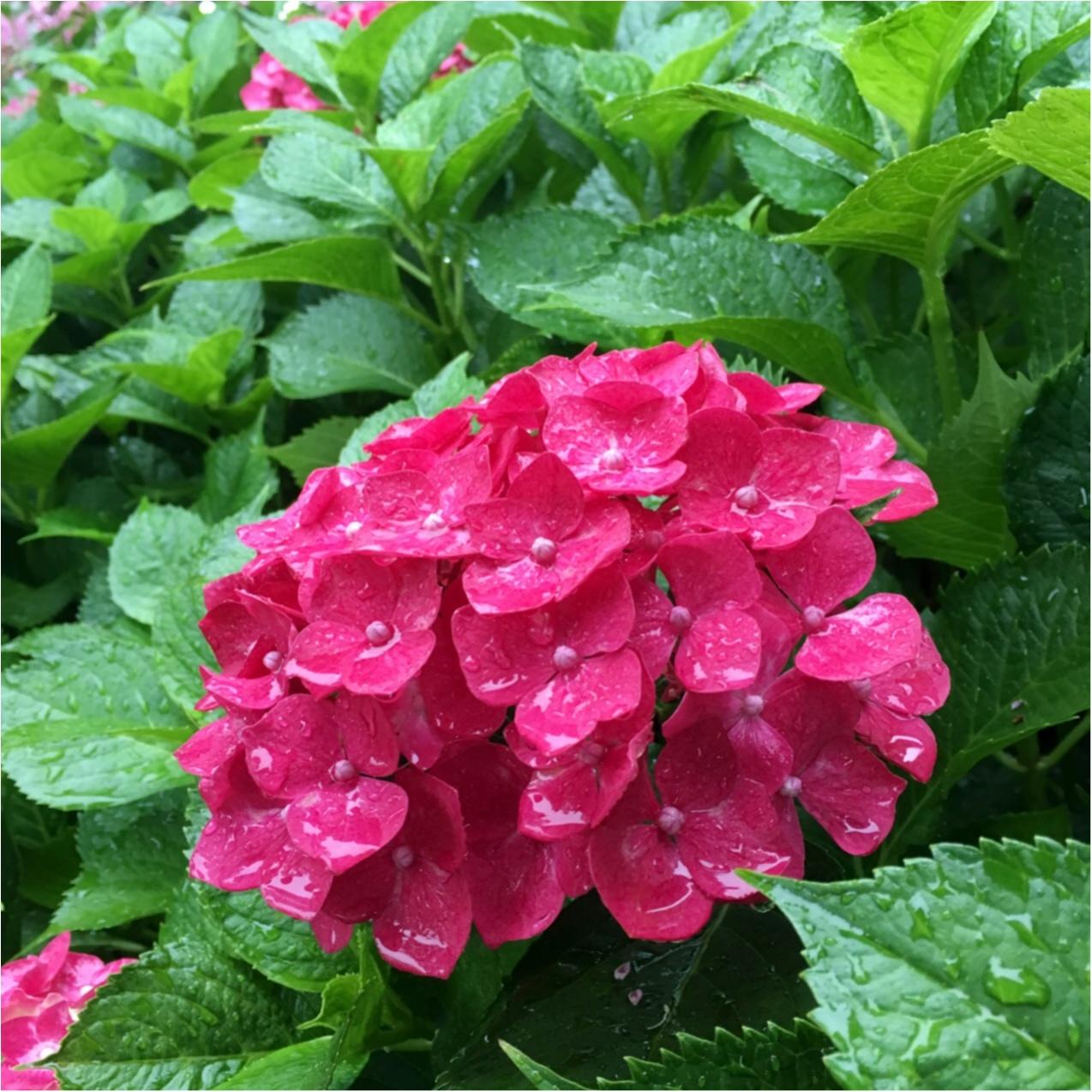 梅雨の時期に見たい♪紫陽花の名所へおでかけ…*見つけたハートの紫陽花♡_6