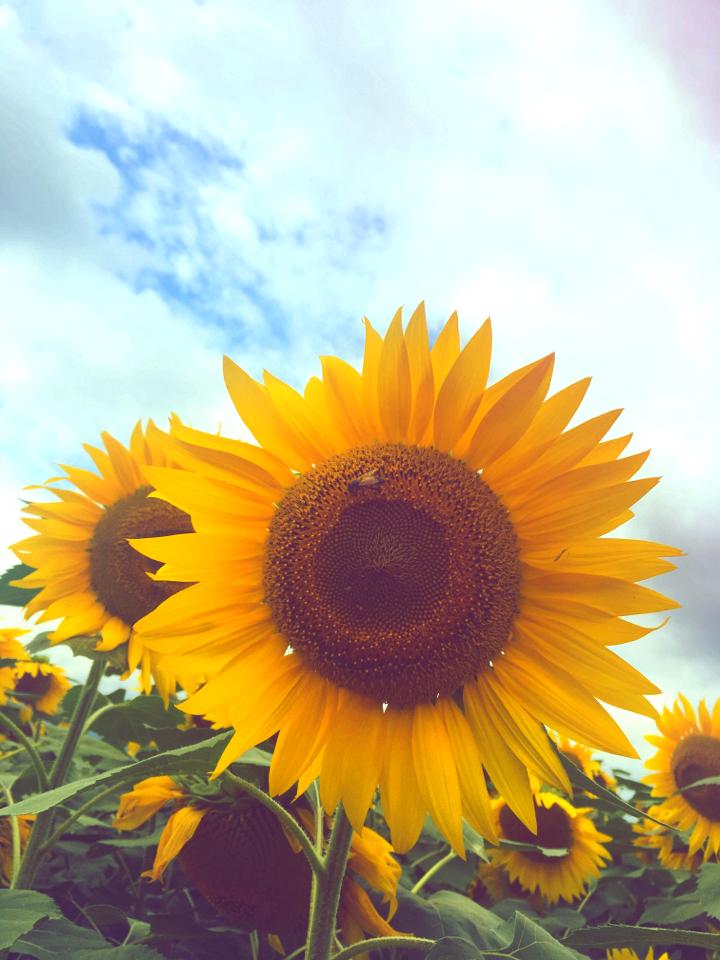 【HISバスツアー】60万本の奇跡!明野ひまわり畑と「清里テラス」&収穫体験ツアー_3