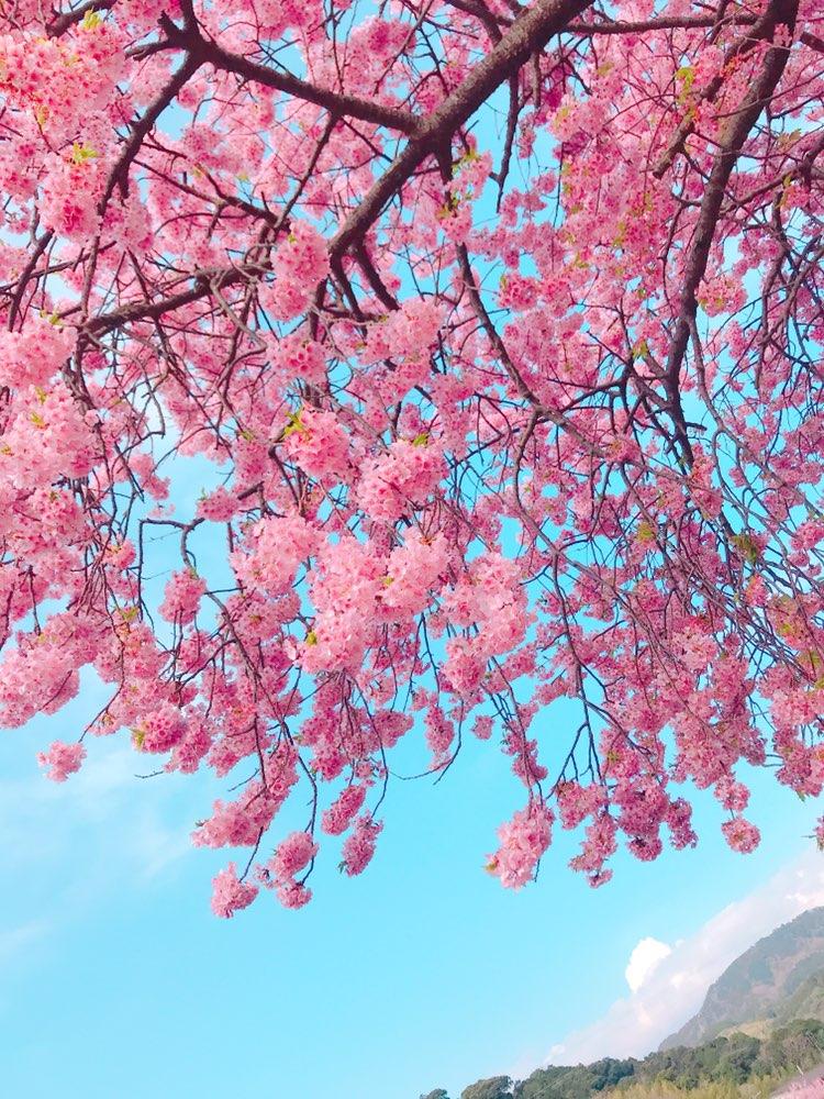 今が見頃❤︎3月なのに桜を楽しめる!河津桜を見に行ってきました*・゜゚・*:.。..。.:*・_3