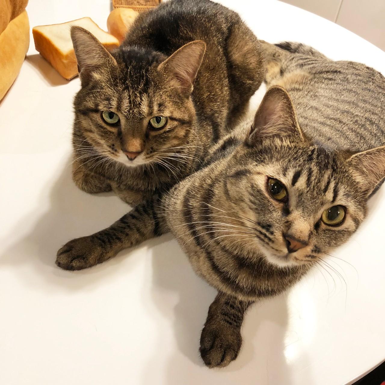 飼い主が食事しているのをジッと見つめる雑種猫・がんくんとサンちゃん