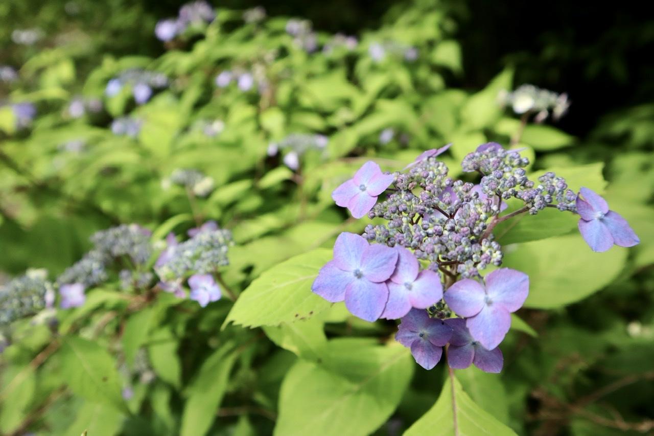 青紫色の額紫陽花の写真